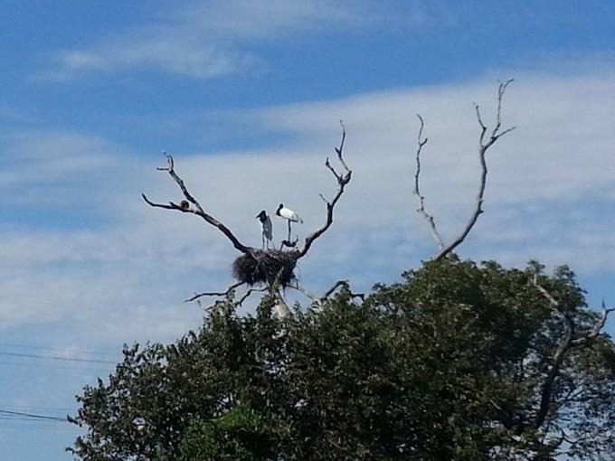 Tuiuiú - a ave símbolo do Pantanal